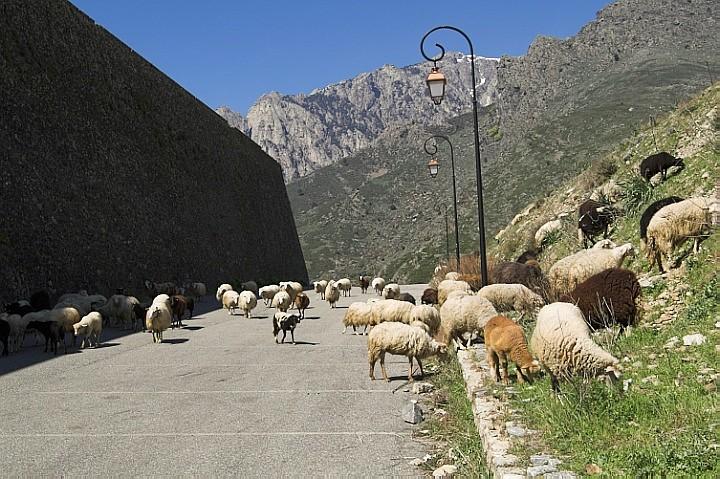 Sheep in Corte